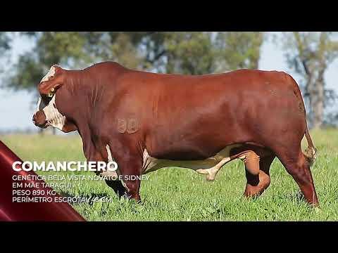 Touro Comanchero - Braford indicado para IATF - RENASCER BIOTECNOLOGIA VIDEO
