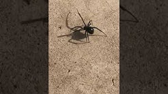 Black widow in my Arizona house!
