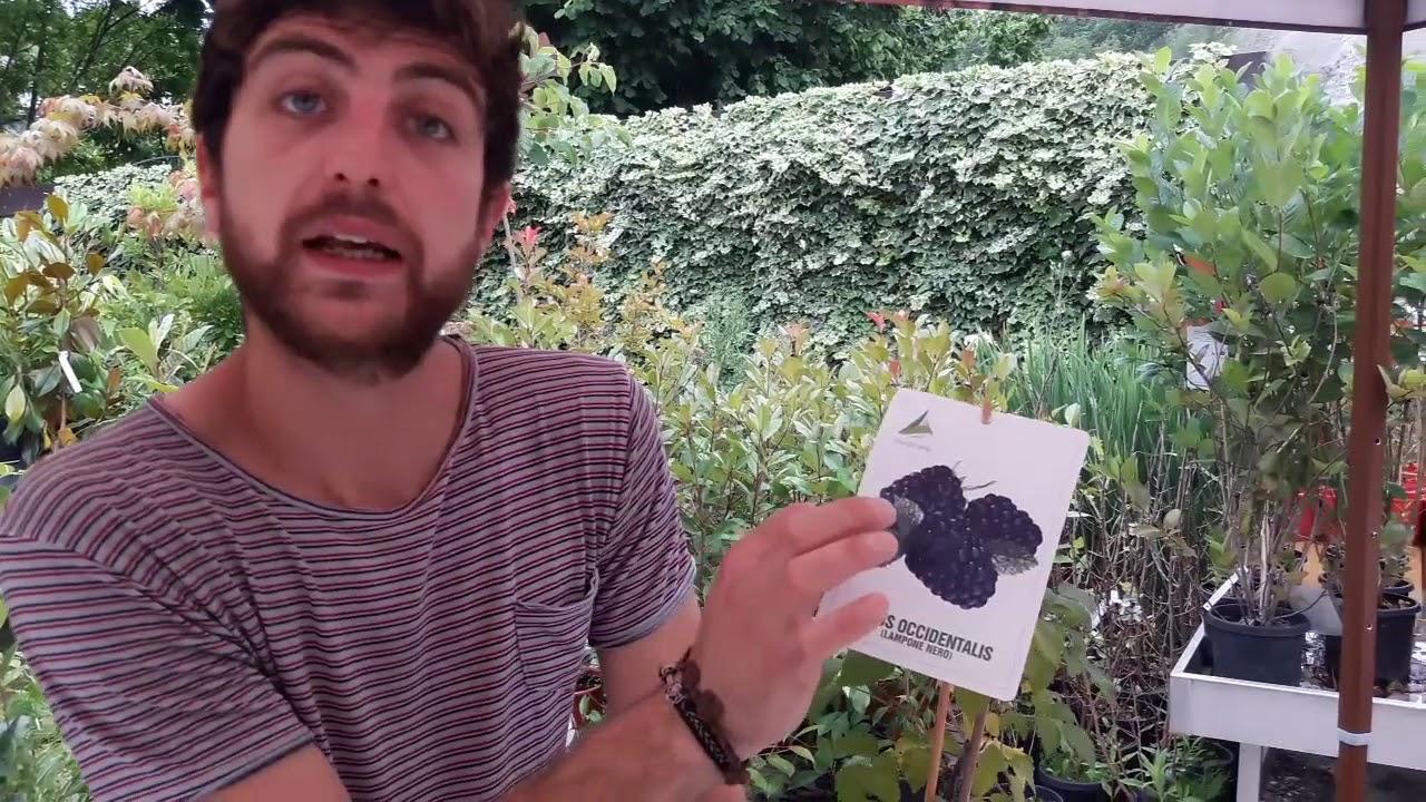 Come Coltivare I Lamponi consigli utili su come coltivare il lampone nero o rubus occidentalis