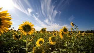 видео Подсолнечник или «цветок солнца»