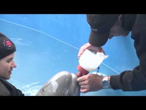 Alaska Aquarium Cares for Abandoned Beluga Calf