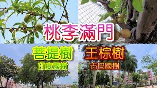 Publication Date: 2021-05-07   Video Title: [輕輕鬆鬆,名樹遊蹤] 民生書院 : 桃李滿門 (桃樹 梨樹