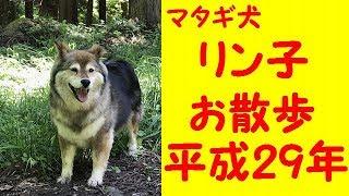 マタギ犬リン子のお散歩の様子です。相変わらずおデブちゃんですが、山...