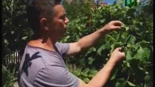 Як захистити виноград від шкідників і хвороб.