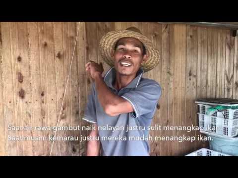 ANTARANEWS - Kerbau rawa Danau Panggang