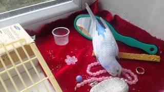 Волнистики!!!Правильный уход за попугаем.