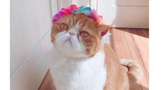 Adorable Exotic Shorthair Cat # 5