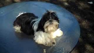 Www.twilightshihtzu.com Edward Or Eddy Twilight's Young Adult Shih Tzu For Sale