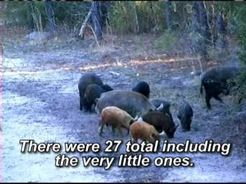 Spring Hog Hunt South Carolina