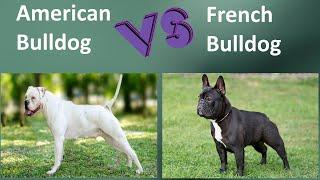 American Bulldog VS French Bulldog  Breed Comparison