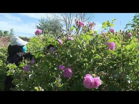 فيديو: -جانيات الورود- يبذلن جهداً مضنياً لإنتاج مستحضرات ثمينة بالمغرب…  - 15:59-2021 / 5 / 4