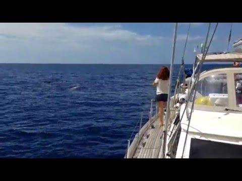 SPERM WHALES in Dominica! (Video 45) - Sailing Britican