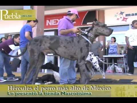Hércules, el perro más alto de México en Puebla