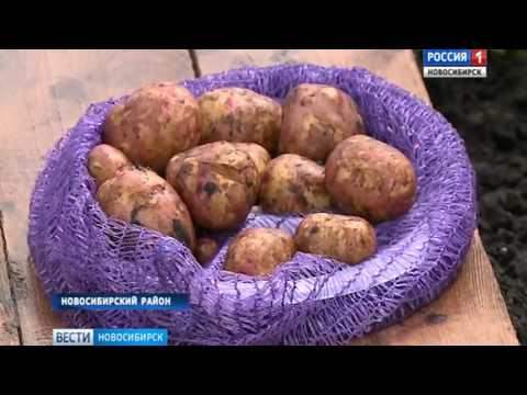 Новосибирские ученые вывели новый сорт супер-картошки