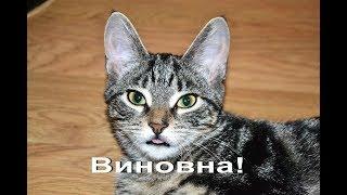 Кошка которая грызёт всё. Миса. Cat.