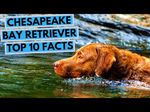 Chesapeake Bay Retriever - TOP 10 Interesting Facts