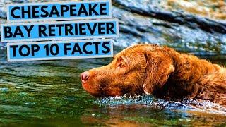 Chesapeake Bay Retriever  TOP 10 Interesting Facts