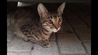 Ориентальная кошка. Ласковый котенок, полосатый мальчик. Срочно ищет дом! СПб
