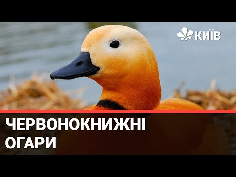 На Оболоні хтось випустив в озеро та кинув напризволяще зграю качок