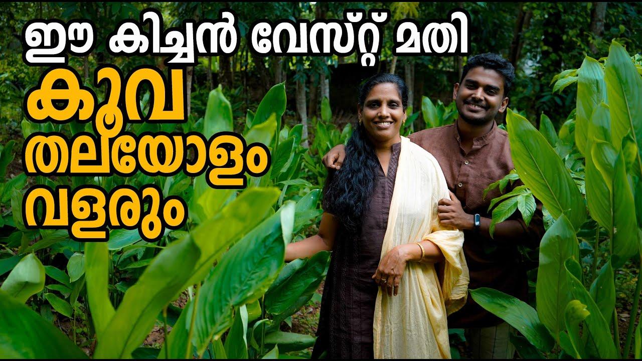 കൂവ കൃഷി രീതിയും വളപ്രയോഗവും  | Kuva Krishi | Arrowroot farming in Malayalam