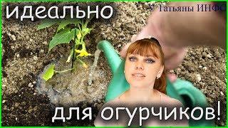 Как увеличить урожай ОГУРЦОВ в 1,5-2 РАЗА!!! Лучшая Натуральная подкормка для ОГУРЦОВ!!!