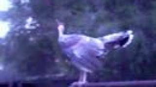 Dancing Turkey turk psy trance psychedelic music dance