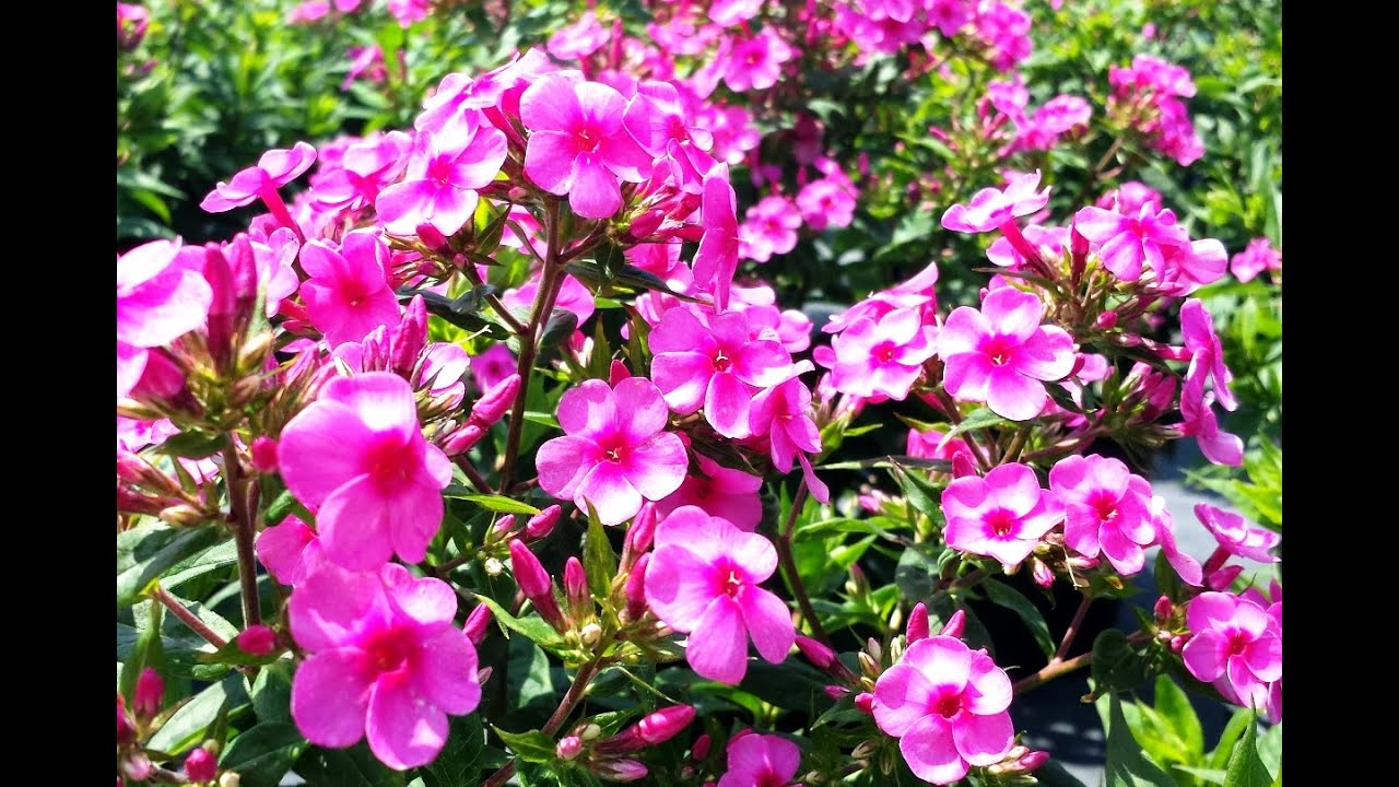 best perennials for sun  phlox early start pink garden phlox, Natural flower