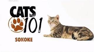 Сококе 101Kote.ru Sokoke 101Cats