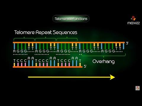 Telomerase function medical animation