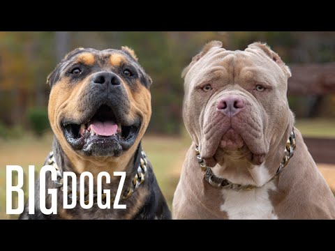 Buster & Chop - The 120lb Bullies With $15k Pups | BIG DOGZ