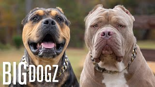 Buster & Chop  The 120lb Bullies With $15k Pups | BIG DOGZ