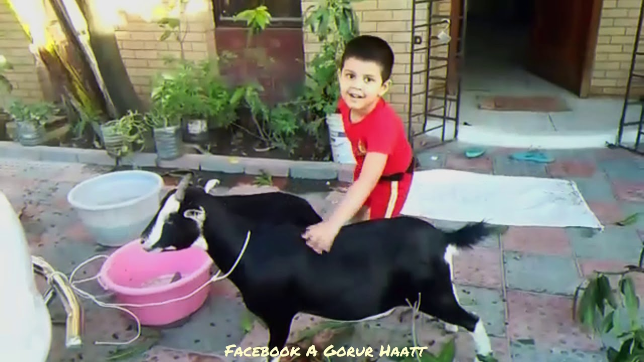 Young little boy Zarif || serious cattle lover