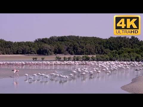 Nature Screensaver : Amazing  of Hundreds of Flamingos Feeding