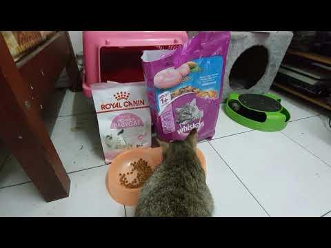 #Catfood #Royalcanin #whiskas My Cat Is So Royal & I Am Dead!!!
