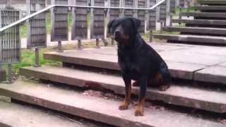 Mick The Situation - Mon Rottweiler Max Qui Devient Fou En Courant Apres Un Gars