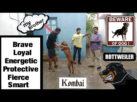 1 kombai & 2 Rottweilers || A special time with them || Kombai meeting his family After 2 Days ||