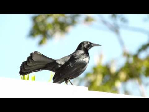 Chango o Mozambique (Quiscalus niger) - Greater Antillean Grackle