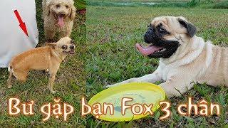 PUGK 🐿️ Pug Bư đang học nhặt dĩa bay thì gặp bạn chó Fox cụt 1 chân, và Bư bị bạn ấy táp SML 😋