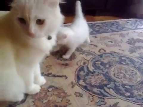 Baby Angora Cat Funny Baby Cat Youtube