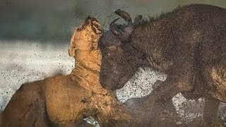 Moments Of Wild Animal Fights Lions Fight Buffalo ! Fight To Death of Animals