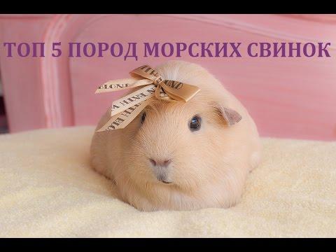 ТОП 5 ПОРОД МОРСКИХ СВИНОК