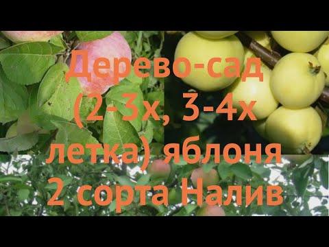 Яблоня обыкновенная Налив белый - Мантет 🌿 обзор: как сажать, саженцы яблони Налив белый - Мантет