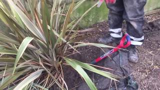 How to remove a Yucca Plant Tree Stump For Transplanting