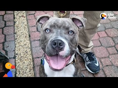 Rescue Dog Is So Spoiled By His New Parents - CHIEF the Pittie | The Dodo