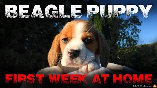 Beagle Puppy First Week at Home