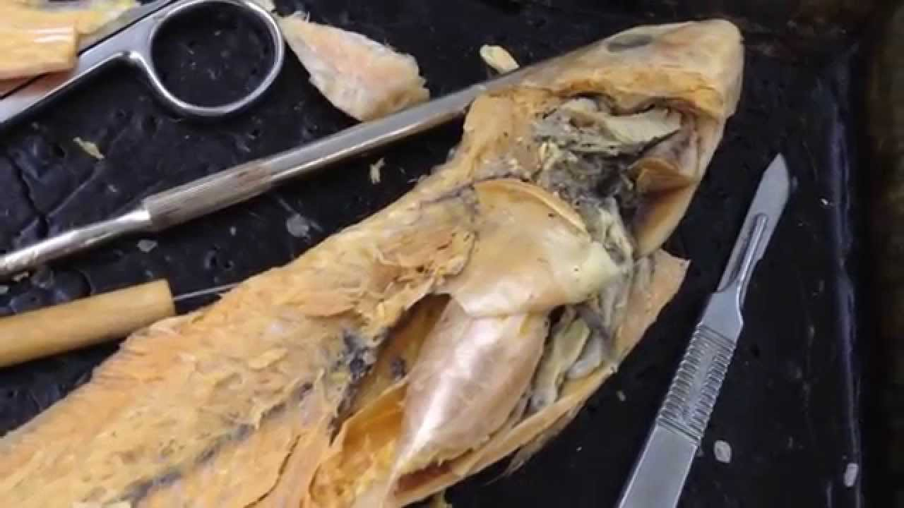 Perch Dissection - YouTube