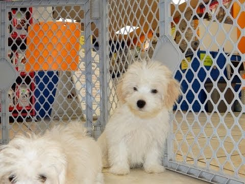 puppies for sale in columbia sc havatese puppies dogs for sale in columbia south 3946