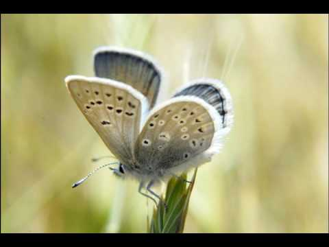 Mission Blue Butterfly: An Endangered Species Fighting for Survival