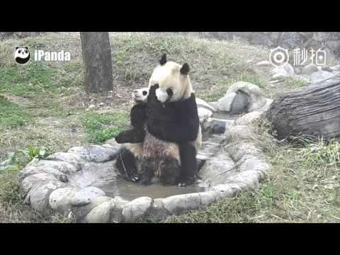 - Детеныш панды хочет ходить грязным