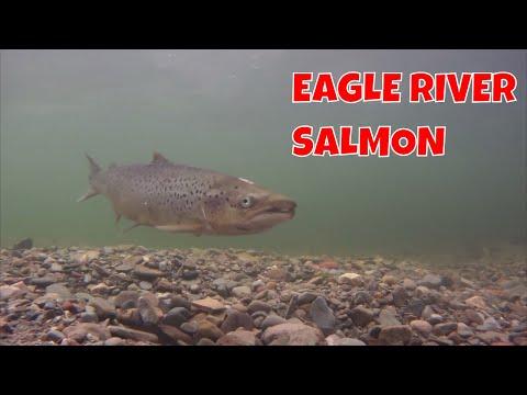 Eagle River Salmon | Labrador